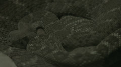 Stock Video Footage of rattle snake coiled up
