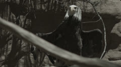 Bald eagle drying off Stock Footage