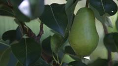 Pear Tree Pick Stock Footage