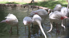 Flamingos dipping beaks in the water - stock footage