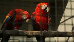 Parrots in captivity - stock footage