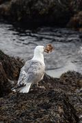 Seagull with crab Stock Photos