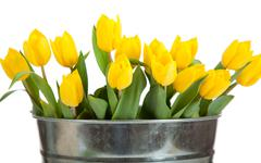 Yellow tulips in a metal pail on white Stock Photos