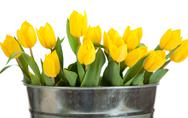 Stock Photo of yellow tulips in a metal pail on white
