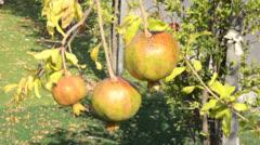 Three unripe pomegranates on thin branch Stock Footage