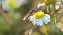 Wasp. yellow jacket. insects. fauna and flora. slow motion Stock Footage