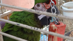 Pet parrot maccaw Stock Footage