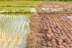 rice sprouts plant in thailand - stock photo