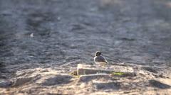 Little Ringed Plover in its habitat, beautiful bird in desert-like landscape Stock Footage