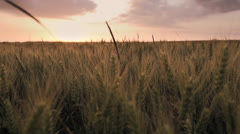 Agriculture wheat cornfield sunset Stock Footage