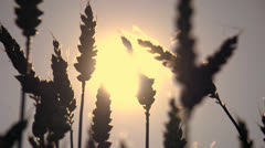 Wheat cornfield agriculture sunset slow motion Stock Footage