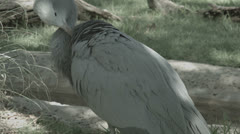 Stanley crane cleaning feathers Stock Footage