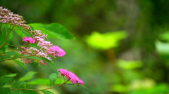Honey bee on pink japanese meadowsweet flower Stock Footage