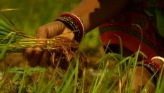 Bengal village women showing  paddy Close-up Stock Footage