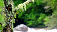 Stock Video Footage of Close up mossy tree over roaring rapids