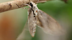 moth - stock footage