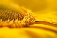 super macro yellow flower background / sunflower - stock photo