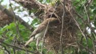 Mother bird feeding baby birds02 Stock Footage