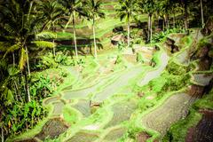Terrace rice fields in morning sunrise, ubud, bali, indonesia Stock Photos