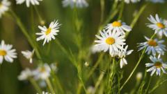 Field of beautiful white daisy flowers close-up, camera movement Stock Footage