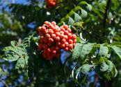 Ashberry at dry sunny day Stock Photos