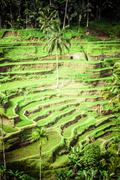Terrace rice fields in morning sunrise, ubud, bali, indonesia Stock Photos