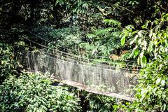 suspension bridge to mangrove tropical forest. - stock photo