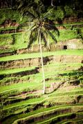 terrace rice fields in morning sunrise, ubud, bali, indonesia - stock photo