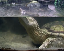Terrapin swiming under water Stock Footage