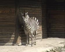 Zebra in the city zoo Stock Footage