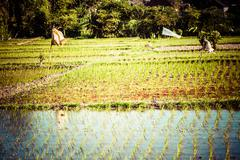 rice field in the morning in thailand - stock photo