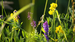 Colorful wild flowers in natural meadow close-up, yellow, purple blossoms Stock Footage