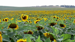 Field sunflower Stock Footage