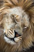 Barbary leijona (Panthera leo leo) Kuvituskuvat