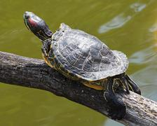 Red-eared slider (trachemys scripta elegans) Stock Photos