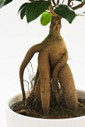 ficus ginseng tree with root - stock photo