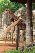 Two giraffes in zoo. Stock Photos