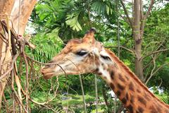 Close up of giraffes in zoo. Stock Photos