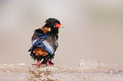 Wet bateleur eagle Stock Photos