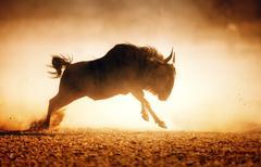 Blue wildebeest running in dust Stock Photos