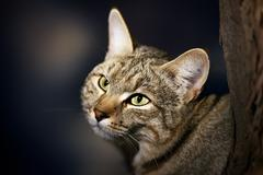 African wild cat portrait Stock Photos