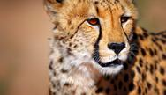 Stock Photo of cheetah portrait