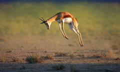 running springbok jumping high - stock photo
