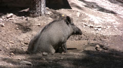 Warthog resting in a pool of water Stock Footage