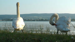 Swan, Lake Bodensee, Reichenau, Germany Stock Footage
