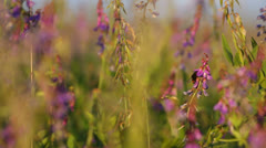 Bee collecting nectar on wild purple flowers in natural meadow Stock Footage