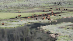 Bison on move - stock footage
