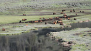 Stock Video Footage of Bison on move