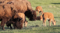 Bison Grazing Stock Footage