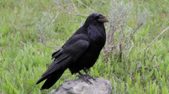 Large raven watching - stock footage